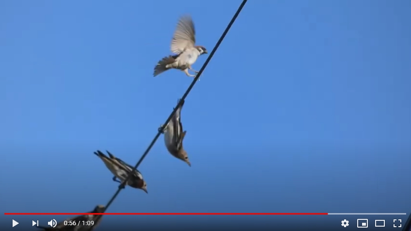 鳥はなぜ電線から落ちないか?
